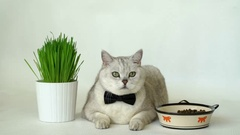 Cat in black bow tie with big round green eyes after lunch Stock Footage
