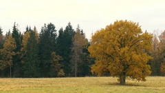 Autumn landscape with orange autumn oak tree in the field Stock Footage