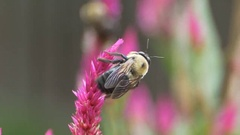 Common Eastern Bumble Bee Stock Footage