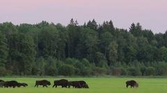 European Bison. Herd. Autumn. Feeding. Stock Footage