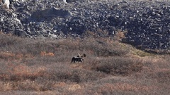 Big Bull Moose Walks in Sunny Autumnal Tundra Scrub Near Rockfall HD Stock Footage