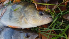 European perch lying on riverside in autumn leaves. Stock Footage