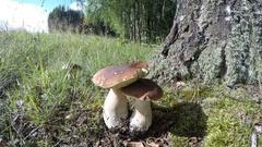 Boletus edulis mushrooms and Burgundy snails, 4K time lapse Stock Footage