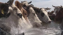 Cows on watering place Stock Footage