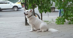 Old white dog waiting for mastrer in the street Stock Footage