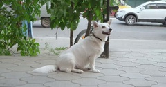 Cute white dog wait in loneliness Stock Footage