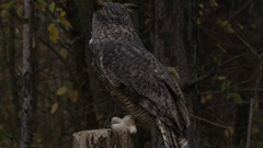 Great horned owl perched on a stump Stock Footage