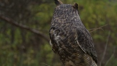 Horned Owl turning head around in slow motion with wooded background Stock Footage