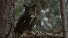 Great horned owl looking right to left in tree perch Stock Footage