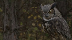 Great Horned owl hunting for prey Stock Footage