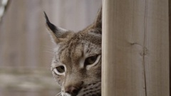 Lynx sneakily looking around a corner Stock Footage