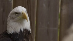Bald eagle in back yard making noises with open mouth Stock Footage