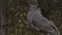 Great horned owl predator in the trees Stock Footage