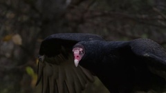 Turkey vulture open wings Stock Footage