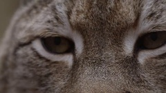 Lynx slow motion close up blink Stock Footage