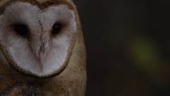Barn owl moving head side to side slow motion Stock Footage