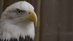 Bald eagle angry caw in front of wooden fence Stock Footage