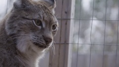 Lynx in a cage - captive cat Stock Footage