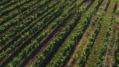 Aerial - Tilt up from the vineyard rows to the sunset Stock Footage