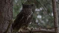 Great horned owl hunting from tree branch Stock Footage