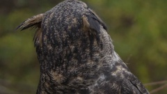 Great horned owl close up head turn slow motion Stock Footage