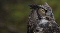 Great horned owl looking left to right slow motion Stock Footage