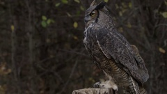 Great horned owl flying away from handler Stock Footage
