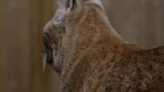 Lynx side profile in front of fence wooden Stock Footage
