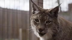 Lynx close up portrait in captivity Stock Footage