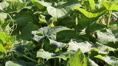 Cucumber leaves close-up Stock Footage