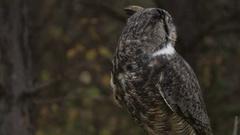 Great horned owl medium shot looking around Stock Footage