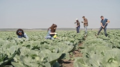 Young Farmers Working on Cabbage Field Stock Footage