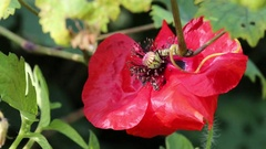 Insects collected pollen from a poppy field Stock Footage
