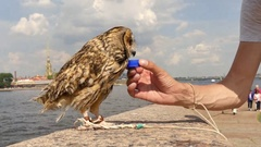 Thirsty owl drinking water Stock Footage