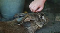 Gray cute rabbit Stock Footage