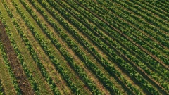 Aerial - High angle view of beautifully sunlit green rows of vineyard at sunset Stock Footage
