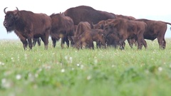 European Bison. Herd. Autumn. Stock Footage