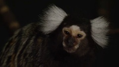 Marmoset close up looking around face Stock Footage