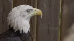 Bald eagle in front of wooden fence Stock Footage