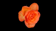 Time-lapse of dying orange rose with ALPHA channel Stock Footage