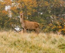 Red deer does during the rutting season at Tatton Park, Knutsford, Cheshire, Stock Photos