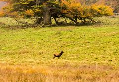 Red deer in woodland during the rutting season at Tatton Park, Knutsford, Che Stock Photos
