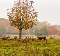 Group of Red deer stag and his hareem, of does during the rutting season at T Stock Photos