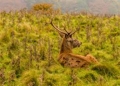 Red deer stag withg large antlers during the rutting season at Tatton Park, K Stock Photos
