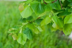 Linden tree leaves in spring Stock Photos
