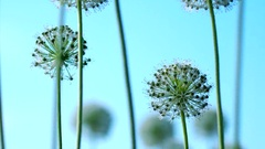 Beautiful White Allium circular globe shaped flowers blow in the wind Stock Footage