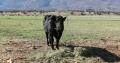 Black cow eating hay farm field mountain valley DCI 4K Stock Footage