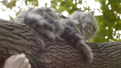 Cat sits on tree and hands Stock Footage