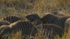 Close up of a group of banded mongoose in masai mara Stock Footage