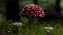 Amanita muscaria mushroom artistic hyperlapse fast spin Stock Footage
